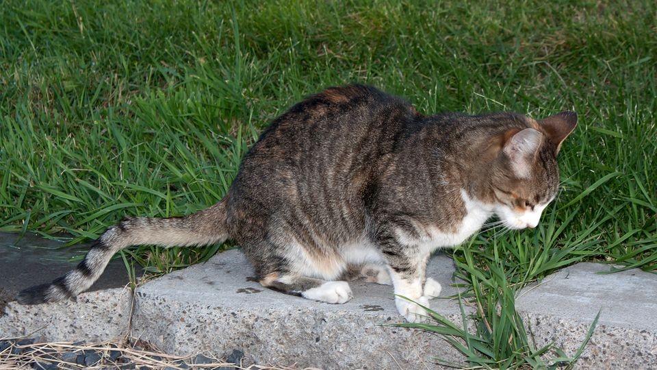 Kedilerde Gençlik Hastalığı Feline panleukopenia